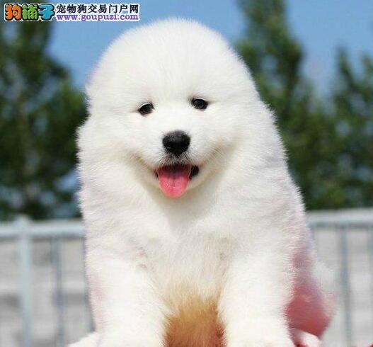 贵阳大型养殖基地出售萨摩耶幼犬 多只幼犬任君选择