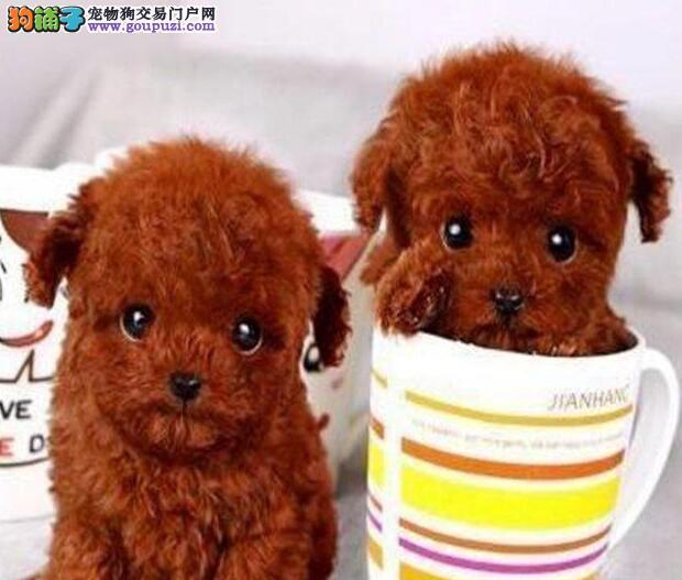 出售韩版超小体德州泰迪犬不掉毛乖巧懂事1