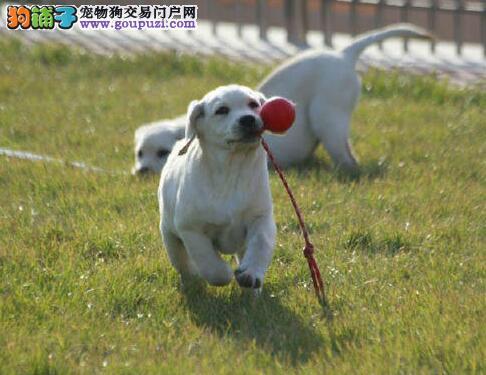 出售极品北京拉布拉多犬 血统纯正保证质量价格可谈