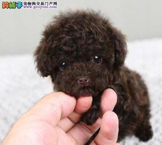 荆州繁殖泰迪熊 疫苗驱虫已做好来场看狗父母可送上门