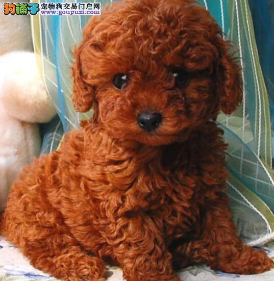 出售韩版超小体德州泰迪犬不掉毛乖巧懂事2