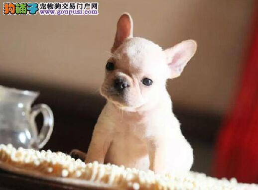 高气质的潍坊斗牛犬优惠出售中 终身的免费售后