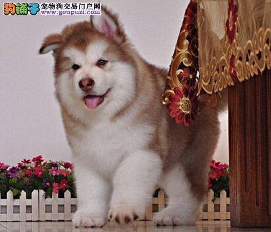 英俊帅气的阿拉斯加犬找新家 潍坊市内免费送货