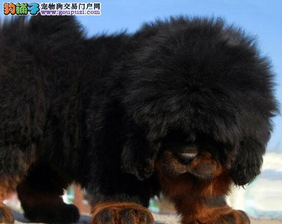 转让狮子头铁头包金的潍坊藏獒幼崽 狗贩子勿扰