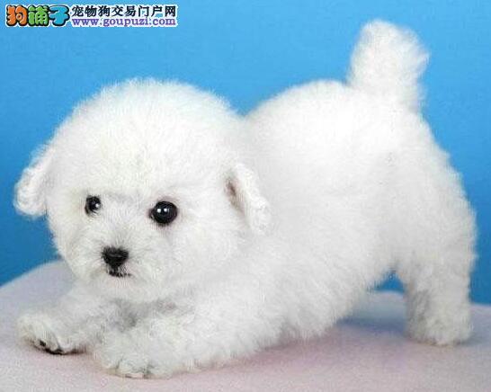 上海出售法系比熊犬精品比熊纯种健康质量三包完美售后