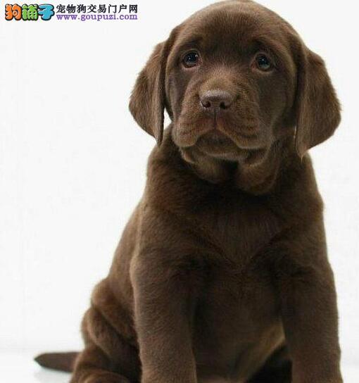 长春自家狗场热销拉布拉多犬 三个月包退换终生包治疗