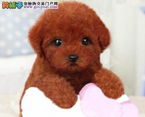 萌萌哒很可爱的台州泰迪犬找爸爸妈妈 公母均有