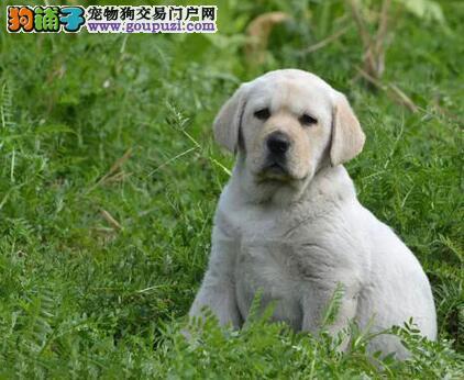 皇家名犬屋低价销售拉布拉多
