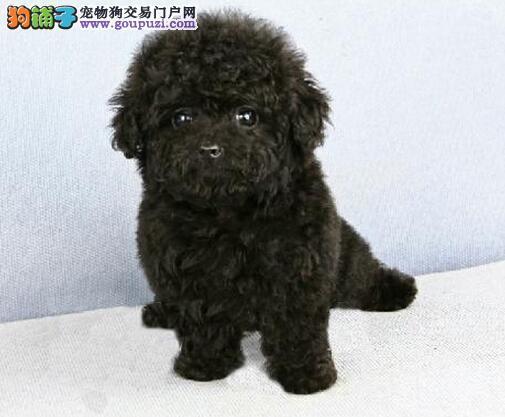 萌萌哒很可爱的台州泰迪犬找爸爸妈妈 公母均有2