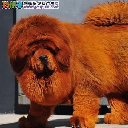 泰安獒园出售大狮子头幼獒 实体獒园售藏獒 诚信卖家