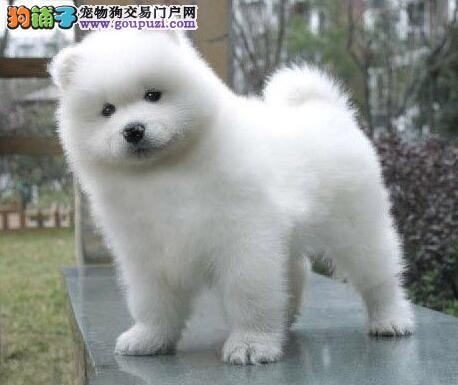 熊版萨摩耶幼犬 微笑天使萨摩耶小狗出售纯种双血统 周边可送