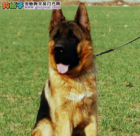 聪明英俊高大的泉州德国牧羊犬找新家 锤系好品相