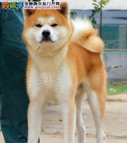 100%纯种健康的秋田犬出售购犬可签协议