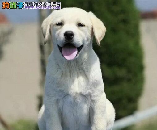 出售拉布拉多幼犬赛级血统品相纯正确保健康
