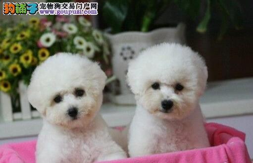 北京自家繁殖比熊犬可上门挑选包健康纯种包养活图片