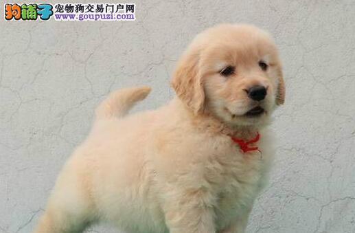 金毛犬不同年龄时所需营养也不同
