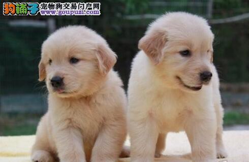 训犬员在训练金毛犬时要注意的五个问题