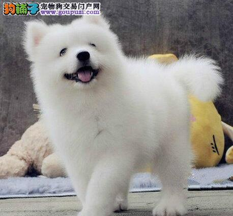 武汉家养微笑天使 治愈系萌犬可爱温顺萨摩耶幼犬转让1