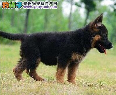 南充市德国牧羊犬出售 纯种健康 可上门选购 协议质保