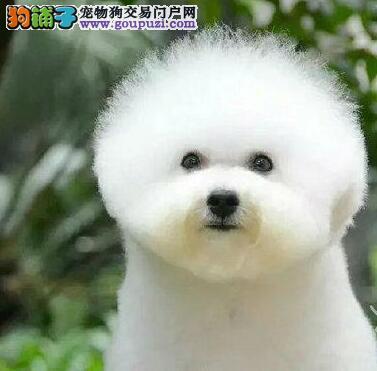上海犬舍今日特价一比熊幼犬一送用品一包养活签协议