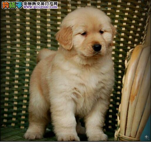 广州哪里有卖金毛犬 纯种金毛一只多少钱 金毛犬价格