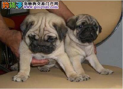 广州哪里有卖巴哥犬 纯种巴哥一只多少钱 巴哥犬价格