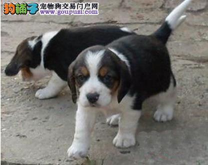 广州哪里有卖比格 纯种比格一只多少钱 比格犬价格