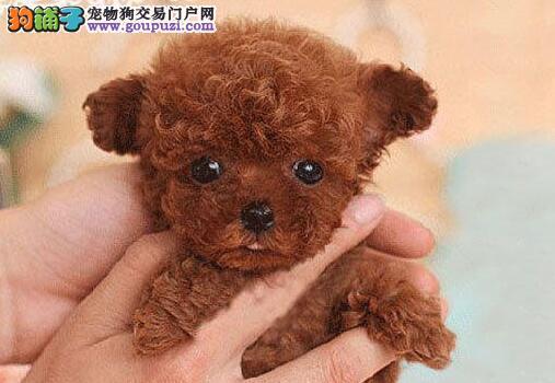 迪庆州售健康泰迪犬幼犬 泰迪熊宝宝贵妇卷毛犬小贵宾1