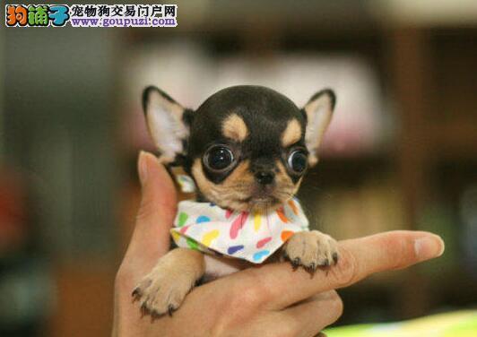 转让墨西哥纯血统的南宁吉娃娃幼犬 多窝可选可刷卡