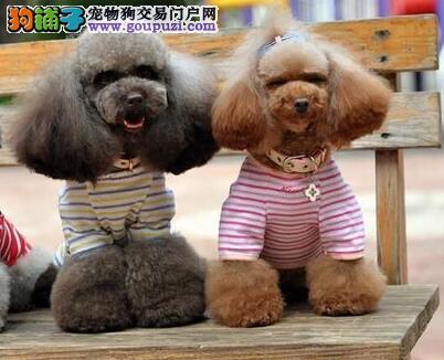 青岛大型犬舍出售巨型贵宾犬 绝对信誉请放心选购