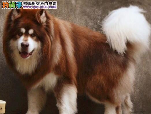 威武双十字济南阿拉斯加雪橇犬直销 可办理血统证书