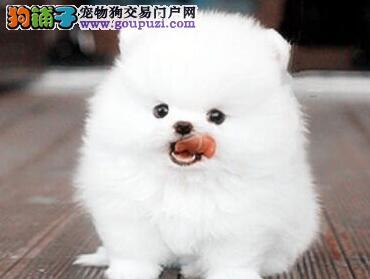 极品哈多利版博美犬济南犬舍热销 欢迎检验狗狗健康