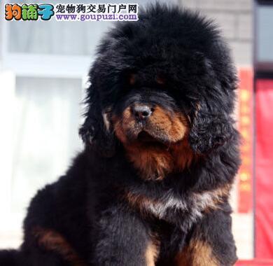 济南专业繁殖藏獒犬幼犬出售名血幼獒 价格优惠