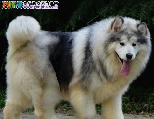 家养好品质宁波阿拉斯加雪橇犬转让血缘清楚