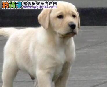 北京拉布拉多导盲犬拉布拉幼犬 精品赛级拉布拉多
