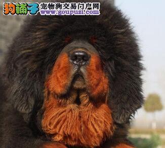 转让实物拍摄的藏獒幼崽 唐山市内可随时上门选购爱犬