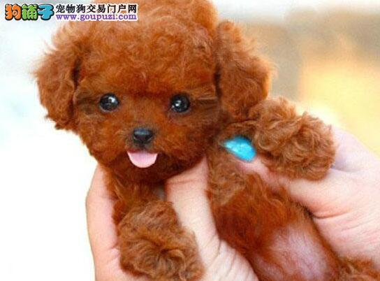 石嘴山繁殖精品玩具小体泰迪犬 签署购买协议上门看狗
