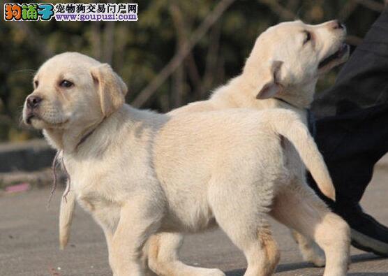 高品质拉布拉多幼犬价格多色可挑健康保证加微信看视频