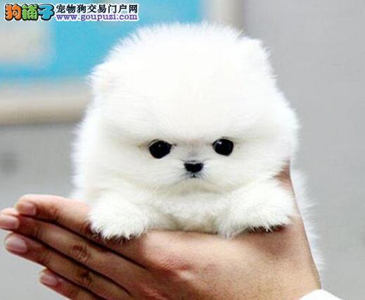 武汉哈多利博美犬幼犬品质极好终身质保三包签协议3