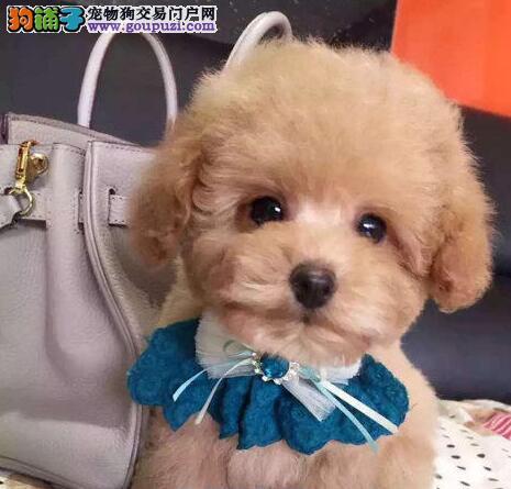 迪庆州售健康泰迪犬幼犬 泰迪熊宝宝贵妇卷毛犬小贵宾