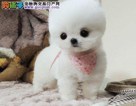 纯种博美纯白色非常漂亮南京宠物