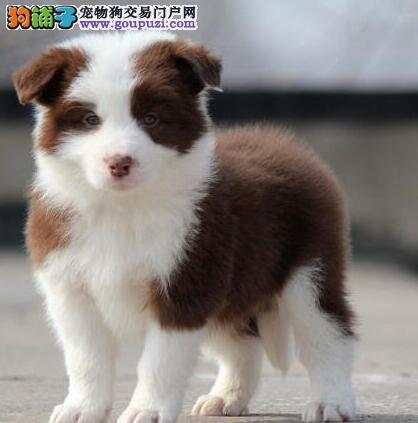 北京专业繁殖边境牧羊犬绝顶聪明血统纯正健康好训好养