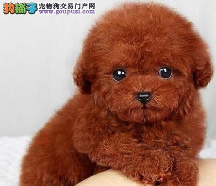 特价出售健康南京泰迪犬颜色多只质量有保证