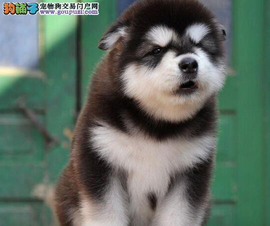 促销价直销双十字西安阿拉斯加雪橇犬 可办理血统证书1