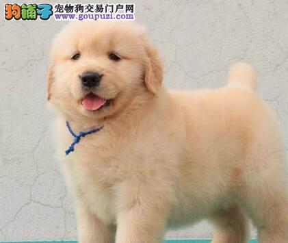 金毛犬种犬的饲养管理方式有哪些需要注意的