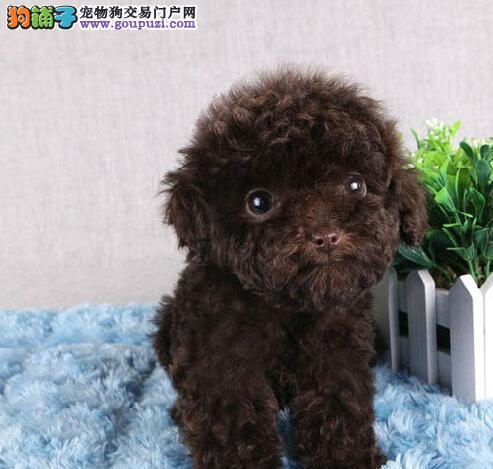 实体店热销茶杯体泰迪犬哈尔滨市区可上门购买4