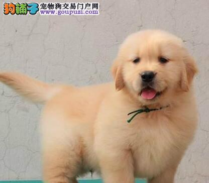 科学饲养 年幼的金毛犬应该如何照顾