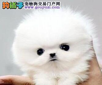 重庆纯种球体博美犬出售可上门挑选看父母签质保协议