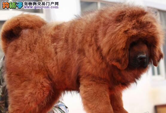转让纯正狮王血系西安藏獒 附近和周边地区可上门选购