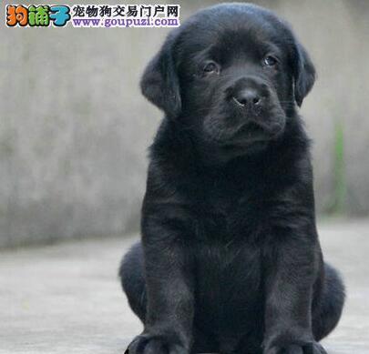 深圳正规犬舍繁殖纯种拉布拉多犬上门挑选小七可送